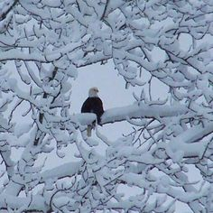 Eagle by Kelly Siebecke of Skagit County, Washington. I wonder if this is one of the eagles I saw near Oak Harbor? I Love Snow, I Love Winter, Pretty Birds, Beautiful Birds, Winter Scenery, Winter Magic, Snow Scenes, Winter Beauty, Perfect World
