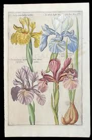 """Emanuel Sweert (1552–1612) Dutch painter & nurseryman noted for his publication in 1612 at Frankfurt-am-Main of Florilegium Amplissimum et Selectissimum. Botanical illustration found a new outlet in the production of nursery catalogues. The plates, depicting 560 bulbs & flowers, were from the Johann Theodore de Bry Florilegium which in turn was based on that by Pierre Vallet. Attractively depicted bulbs sparked their popularity, a demand which would later result in """"Tulipomania""""."""