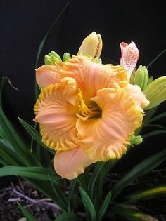 So lovely: Daylily 'Lady Arabella' Rare Flowers, Beautiful Flowers, Daylily Garden, Plantar, Day Lilies, Dream Garden, Trees To Plant, Beautiful Gardens, Garden Plants