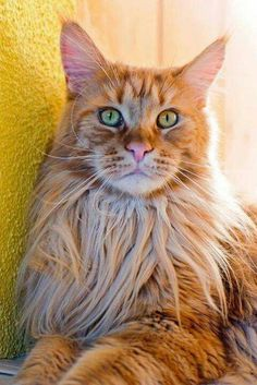 Beautiful Ginger... #Cats