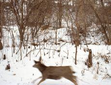 Rebecca Norris Webb, Mule Deer
