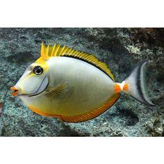 Naso Blonde RED SEA (Naso elegans)