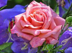 #-neuer Gartentraum- Rose