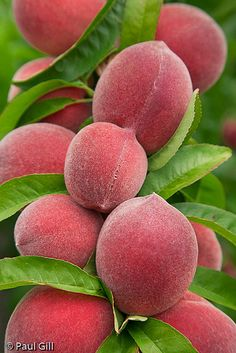 Peaches on a organic farm in Vacerville, CA