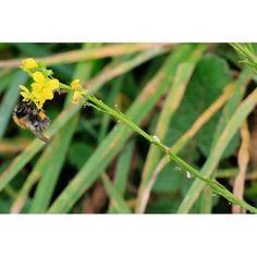 My #bee today @wildlife_uk @bestofwildlife @iNatureUK @NatureUK #500px @discovercymru @visitwales