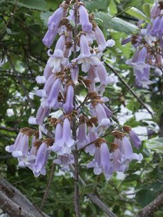 The Royal Empress Tree (Paulownia elongata) This miracle of nature can grow up to 15 feet in its first season, and at maturity reach heights of over 50 feet in less than five years! Tree Identification, Big Leaves, Maturity, Flowering Trees, Kentucky, Weed, Flora, Mountain, Gardening