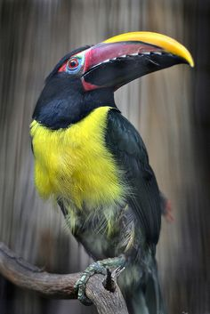 "The Green Aracari (Pteroglossus viridis) is a toucan, a near-passerine bird. It is found in the lowland forests of northeastern South America (the Guiana Shield), in the northeast Amazon Basin, the Guianas  the eastern Orinoco River drainage of Venezuela. At 12""–16"" long  weighing 3.9–5.7 oz., it is the smallest aracari in its range,  among the smallest members of the toucan family."