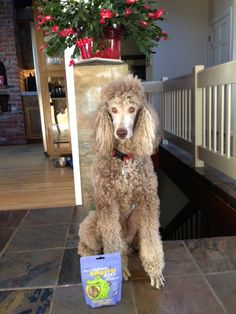 Alonso the standard poodle is so handsome waiting for his Alligator treats! #dogs #poodles