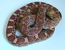 The Sonoran gopher snake, Pituophis catenifer affinis Scary Snakes, Snake Venom, Reptiles, Grand Canyon, Wildlife, Hiking, Animals, Quizzes, Walks