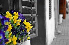 Villany, Hungary, Flowers