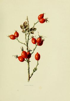 heaveninawildflower:  Sweet Briar. Illustration taken from 'Wild Fruits of the Countryside' - figured and described by F. Edward Hulme. Published 1902 by Hutchinson. New York Botanical Garden, LuEsther T. Mertz Library. Biodiversity Heritage Library. archive.org