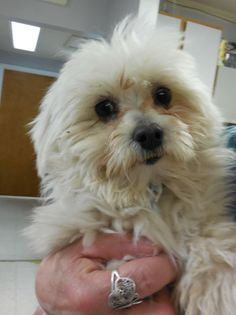 Meet Peter Cottontail a Petfinder adoptable Maltese Dog | Kansas City, MO | Fence/enclosed patio required for most dogs. We check your vet reference and fence. Dogs are...