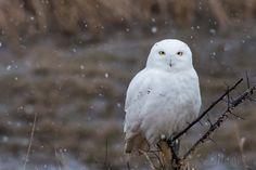 Snowy owl in Petoskey, Michigan. 3/17/16