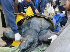 The 500 pound leatherback sea turtle has found a new home in South Carolina. No one knows if it's a he or she, but the turtle was found stranded on Yawkey South Island Reserve near Georgetown, S.C. on Saturday.