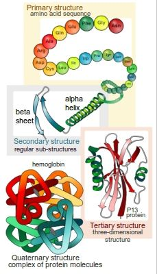 Detailed drawings of different protein structures similar to the figures in our book.