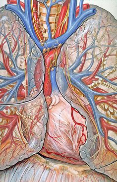 The heart and lungs and surrounding arteries and veins.