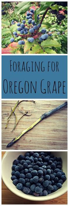 Foraging for Oregon Grape~ A wild native plant that is both edible and medicinal!  www.growforagecoo...
