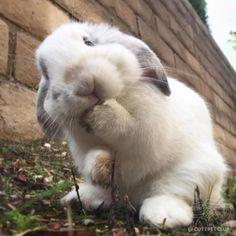 Bonnie Bunny (Bonnie S. Cute Baby Bunnies, Funny Bunnies, Cute Little Animals, Cute Funny Animals, Bunny Care, Fluffy Bunny, Tier Fotos, Cute Creatures, Animals Beautiful