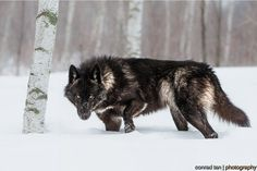 Perfect Timing Photos: A Close Encounter With A Minnesota Black Wolf