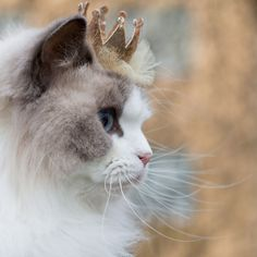 Cats are natural royalties that have been adored by us humans throughout history. Princess Aurora takes that to the next level.  If you're familiar with pets on Instagram you might have come across what probably is the most royal cat in the world - Princess Aurora (@aurorapurr).