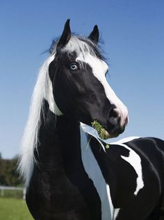 Paint x Friesian Colt Sport Horse | Flickr: Intercambio de fotos