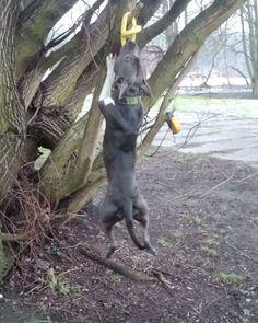 Hugo  ________________________________________________________________ #hugo_ttb #ttb_poznan #adopted #adoptujniekupuj #niekupujadoptuj #dogs #dontbullymybreed #adoption #amstaffz #amstaff #bullymax #amstaffnation #amazingstaffy #staffy #americanstaffordterrier #ast #amstaffofficial #blueamstaff #spacerzpsem #piesnaspacerze #pieswpoznaniu #poznan #piesek #wybieganypies #happy #animals #outdoor #cantstop