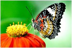 Google Image Result for http://www.moolf.com/images/stories/Animals/The-Greatest-Butterflies-Photo-Collection/The-Greatest-Butterflies-Photo-Collection-5.jpg
