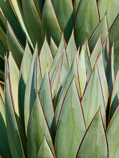agave 'shark skin' by daniel mosquin.