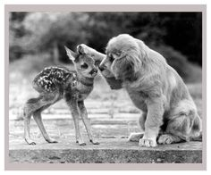 Dog Loves Fawn, vintage photography reproduction