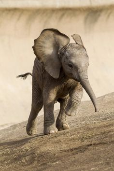 Don't like zoos, but what a great shot of a baby elephant at the San Diego Zoo.