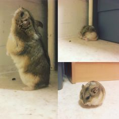 Little Raichu exploring and having a derpy moment. Chirped the whole time _ #aww #Cutehamsters #hamster #hamstersofpinterest #boopthesnoot #cuddle #fluffy #animals #aww #socute #derp #cute #bestfriend #itssofluffy #rodents