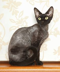 Devon Rex- Closely related to Cornish rexes, the Devon Rex has a similar coat, also consisting of soft, fine down hair, and little to no top coat. Also like Cornish rexes, Devon rexes shed very little of their hair, which they have even less of than their Cornish cousins in the first place.