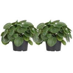 Costa Farms Pilea Peperomioides Sharing Plant in 6 in. Contemporary Planter-6PILEACONTEMP - The Home Depot Large Planters, Planter Pots, Natural Air Purifier, Small Indoor Plants, Contemporary Planters, Chinese Money Plant, Miniature Trees, Spring Blossom, Leaf Shapes