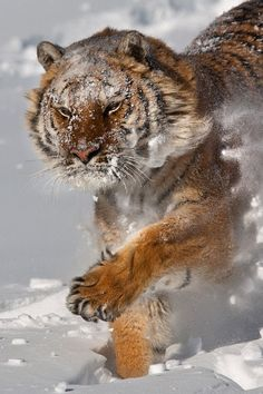 I love this, the snow and tigers seem alien together, but it's a completely brilliant thing.