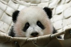 Giant panda cubs Mei Lun and Mei Huan at the Zoo Atlanta, USA on December 20, 2013.  Image credit : smileybears
