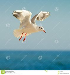 Seagull In Flight And Blue Sky Stock Photo - Image: 67195557