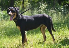 Lincoln - Autumn Acres in Kansas City - ADOPT OR FOSTER - Young Adult Neutered Male Coonhound - Being in a No Kill facility isn't enough!  This boy needs a home and a family to love.  Please share! ADOPTING FROM A RESCUE SAVES THE DOG ADOPTED AND MAKES ROOM FOR ANOTHER TO BE RESCUED!