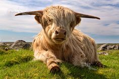 Highland Cow chillaxing at Islibhig. West Coast. Isle of Lewis. Scotland.