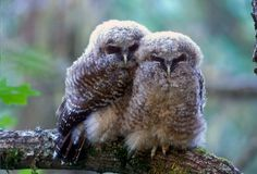 recently I discovered the ultimate cuteness of owls...