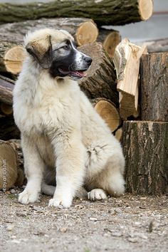 CARPATIAN SHEPHERD DOG/CARPATIAN SHEEPDOG