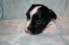 Havanese puppy for sale in OSWEGO, NY. ADN-22206 on PuppyFinder.com Gender: Female. Age: 3 Weeks Old