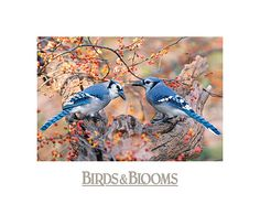 Bluejays - no two feathers are the same