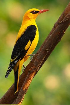 Indian Golden Oriole (Oriolus kundoo), male, photo by Akshay Charegaonkar Kinds Of Birds, All Birds, Cute Birds, Pretty Birds, Little Birds, Beautiful Birds, Animals Beautiful, Cute Animals, Exotic Birds