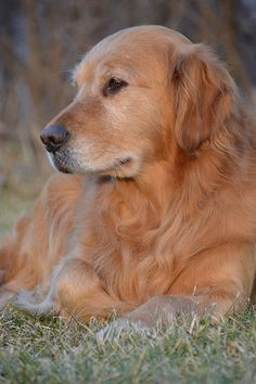 "Excellent ""golden retriever puppies"" information is readily available on our web pages. Retriever Puppy, Dogs Golden Retriever, Golden Retrievers, Cute Puppies, Cute Dogs, Dogs And Puppies, Doggies, Chihuahua Dogs, Beautiful Dogs"