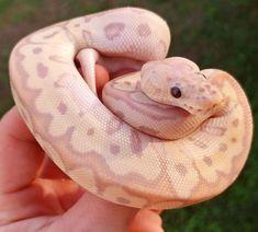 Ball python morphs available at Olympian Exotics!
