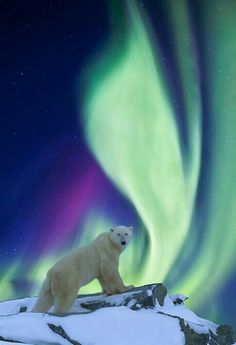 DIGITAL COMPOSITE: Aurora borealis swirls across the sky over a polar bear standing on a rock on the tundra. Beautiful Creatures, Animals Beautiful, Cute Animals, Aurora Borealis, Hirsch Illustration, Northen Lights, Photo Images, Tier Fotos, Beautiful Sky
