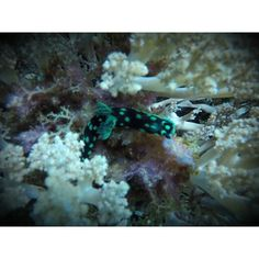 The ocean is filled with real life Pokemons!  Nembrotha Cristata  Photo taken at Apo Island Dumaguete