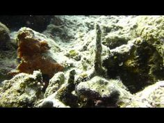 Video Many Spotted Sweetlips Bohol, Scuba Diving, Island, Beach, Painting, Diving, The Beach, Painting Art, Islands