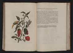 maria sibylla merian book - Google Search