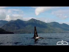 While small-ship cruising through Alaska, UnCruise Adventures guests have opportunities to see amazing wildlife, including up close encounters with whales. https://www.uncruise.com/destinations/alaska-cruises #travel #adventure #alaska #whales #wildlife